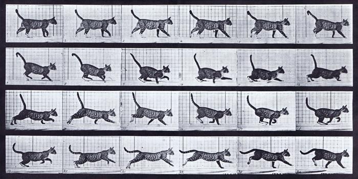 Muybridge Cat walk